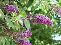 Buddleia de la coulée verte de Colombes - fleurs.jpg