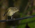 Buff-barred warbler.jpg