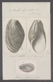 Bulla lignaria - - Print - Iconographia Zoologica - Special Collections University of Amsterdam - UBAINV0274 091 07 0002.tif