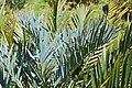 Bushman`s River Cycad (Encephalartos trispinosus) (32140364494).jpg