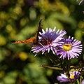 Butterfly on Michaelmas daisy, Feeringbury Manor, Feering Essex England.jpg