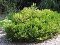 Buxus harlandii 0zz.jpg