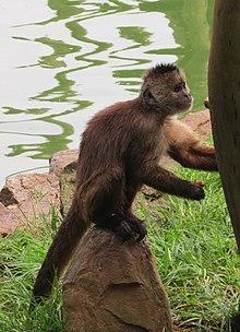 Wedge-capped capuchin - Wikipedia