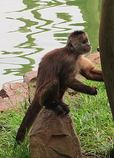 Wedge-capped capuchin Species of New World monkey