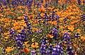 CARRIZO - Wildflowers of 05 -6 (2333119281).jpg