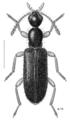 COLE Anthicidae Macratria exilis.png