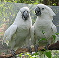 Cacatua alba -Binder Park Zoo, Battle Creek, Michigan, USA -two-8a (1).jpg