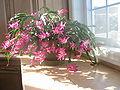 Cactus de noël.jpg