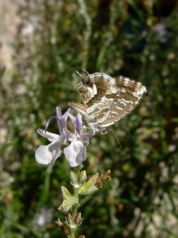 file cacyreus marshalli le 1 jpg wikimedia commons