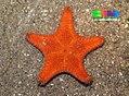 Cake sea star (Anthenea aspera) 3.jpg