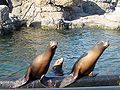 CaliforniaSeaLions-SeaLionCourt-January-11-2007.jpg