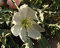 California Evening Primrose 03 (7067622929).jpg