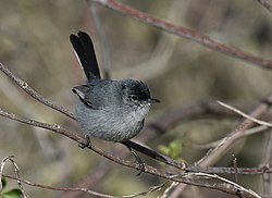 California Gnatcatcher (39893559875).jpg