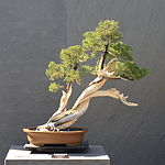 California Juniper bonsai 220, October 10, 2008.jpg