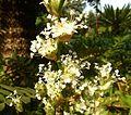 Callisia fragrans, bloeiwyse, Manie van der Schijff BT, c.jpg