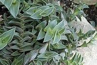 Callisia navicularis kz01.jpg