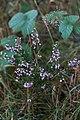 Callune-Calluna vulgaris-Tourbière de Gimel-12533-20141011.jpg