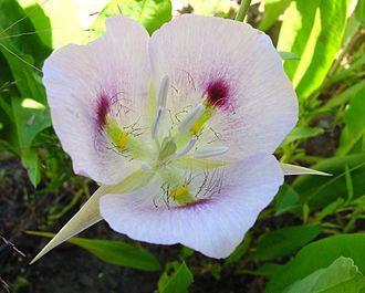 Calochortus - Calochortus eurycarpus