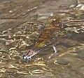Calopteryx haemorrhoidalis female oviposition.jpg
