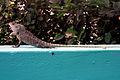 Calotes versicolor (Garden Lizard) spotted at Madhurawada 03.JPG