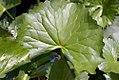 Caltha palustris 4zz.jpg