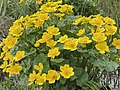 Caltha palustris Marsh-marigold kingcup (bekkeblom soleihov) wetland brook (våtmark bekk) Pirane, Hvasser, Oslofjorden, Norway 2021-05-13 IMG 9451.jpg