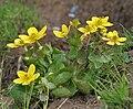 Caltha palustris var himalensis W IMG 7242.jpg