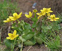 Caltha palustris var himalensis W IMG 7242