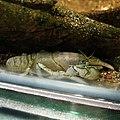 Cambaroides japonicus.jpg