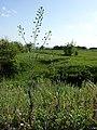 Camelina microcarpa subsp. silvestris sl1.jpg