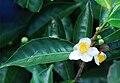 Camellia sinensis Bois Cheri.jpg