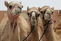 Camels in Al Ain.jpg