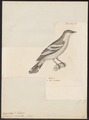 Campephaga aurea - 1700-1880 - Print - Iconographia Zoologica - Special Collections University of Amsterdam - UBA01 IZ16500419.tif