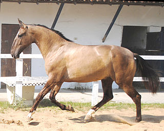 Campolina horse breed