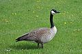 Canada Goose Standing.jpg