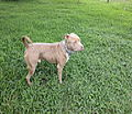 Canino de raza Pitbull.JPG