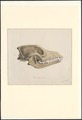 Canis familiaris - schedel - 1857 - Print - Iconographia Zoologica - Special Collections University of Amsterdam - UBA01 IZA1000776.tif