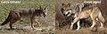 Canis latrans & Canis lupus.jpg