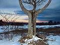 Canterbury old tree - panoramio.jpg
