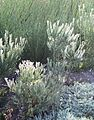 Cape Flats Conebush - Cape Flats Sand Fynbos - critically endangered plants of Cape Town.jpg