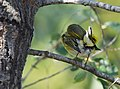 Cape May Warbler (37700887991).jpg