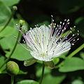 Capparis spinosa-IMG 3415.jpg