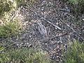 Caprimulgus europaeus DSCN1594.jpg