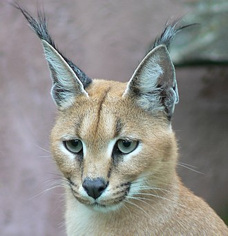 A close facial view of a caracal, with the typical tufted ears and the black facial markings Caracal001.jpg