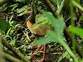 Caracolera (Aramides cajanea) Aragua Venezuela.jpg