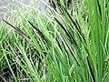 Carex acutiformis plant (06).jpg