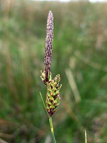 Carex binervis inflorescence.jpg