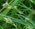 Carex divulsa flowers (1).jpg