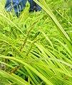 Carex flexuosa.jpg