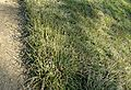 Carex morrowii 'Ice Dance' kz3.jpg